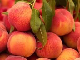 Mango at the lowest price. harvest 5/2019 . - photo 3