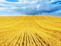 Пшеница , кукуруза , ячмень, рапс, лен, чечевица ФОБ - фото 1