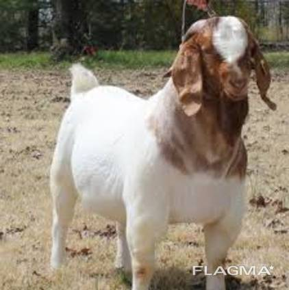 Discount Prices 100% Full Blood Live Boer Goats / 100% Pureb
