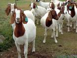 Discount Prices 100% Full Blood Live Boer Goats / 100% Pureb - photo 3