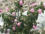 Эфирные масла ромашки аптечной и розы дамасской - photo 4