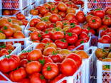 Fresh Tomatoes, Type El Bandito from Turkmenistan - photo 5