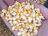 Кукуруза - фото 2