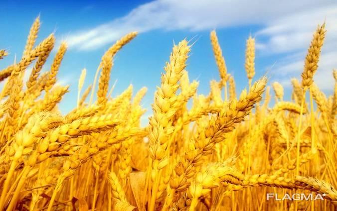 Пшеница мягкая