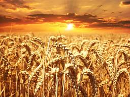 Пшеница /wheat