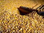 Wheat, Corn, Barleyبيع القمح والشعير والذرة للتصدير - photo 3