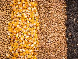 Зерно - пшеница, кукуруза, ячмень, просо, овес, рожь | Grain