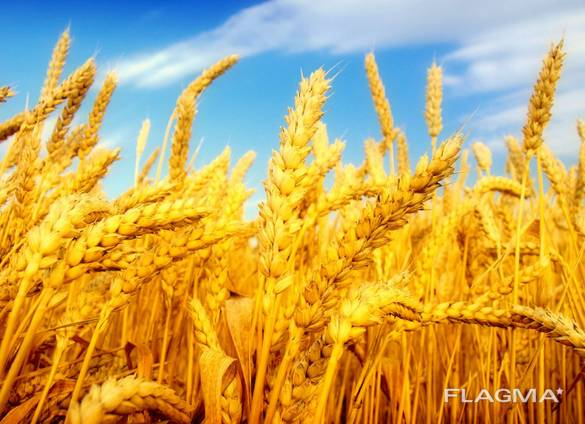 Экспорт зерно Пшеница ячмень кукуруза фуражное масло
